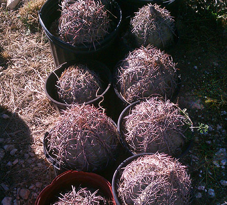 Texas Blue Barrel Cactus