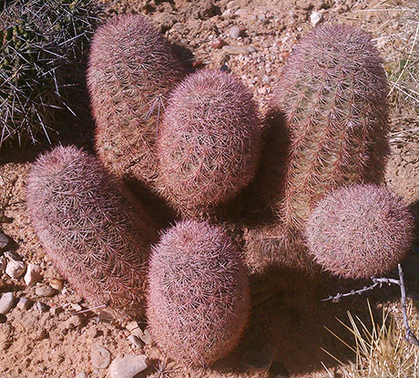 Texas Rainbow Hedgehog Cactus